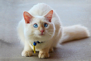 White and Tan Cat