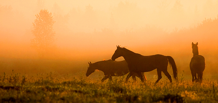 Horses in the Morning Mist